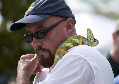 Rodney Irwin looks over his shoulder at his veiled chameleon lizard during the kick-off ceremonies for the 2013 Python Challenge in Davie, Fla., Saturday, Jan. 12, 2013. Irwin said he had rescued the lizard, native to Yemen, after it was turned loose by a breeder near the Everglades. Wildlife experts say pythons are just the tip of the invasive species iceberg. Florida is home to more exotic species of amphibians and reptiles than anywhere else in the world, said John Hayes, dean of research for the University of Florida's Institute for Food and Agricultural Sciences. (AP Photo/J Pat Carter)