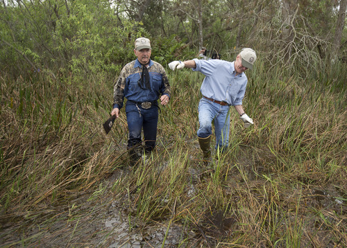"In this Thursday, Jan. 17, 2013 photo taken in the Florida Everglades, wildlife commissioner Ron Bergeron, left, and U.S. Sen. Bill Nelson, D-Fla., walk though knee deep swampy water and mud as they hunt for Burmese Pythons. Nearly 800 people have signed up to hunt Burmese pythons on public lands in Florida as part of the Florida Fish and Wildlife Conservation Commission's month-long ""Python Challenge."" Experts say the invasive species is decimating native wildlife in the Florida Everglades. For the first time, the public is joining licensed hunters in the search for the snakes. (AP Photo/J Pat Carter)"