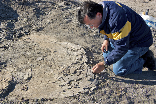 Courtesy of Utah State University Ken Carpenter, curator of paleontology at the Prehistoric Museum, excavates a 85-million-year-old fossil of a giant clam he and USU-Eastern colleagues found north of Green River.