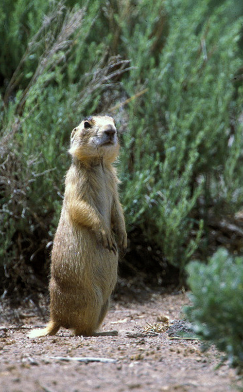 The Associated Press In this undated photo released by Forest Guardians, a prairie dog looks around in southwestern Utah.