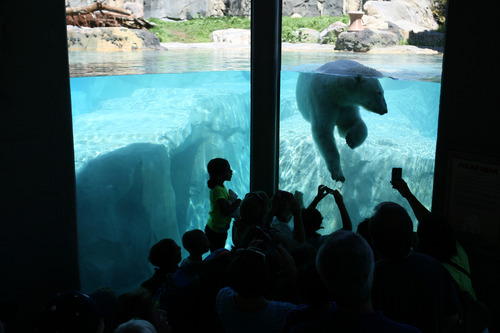 Steve Griffin  |  Tribune file photo Visitors get a close-up look at the polar bear at the new Rocky Shores exhibit at Hogle Zoo June 1, 2012 in Salt Lake City.