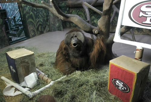 Al Hartmann  |  The Salt Lake Tribune Hogle Zoo's orangutan Eli howls after destroying the Baltimore Ravens logo banner, left, upon entering his enclosure Thursday, Jan. 31, 2013. It took him about two seconds to tear it down. He left the San Francisco 49ers' logo alone. That means he picks the Ravens to win Sunday's Super Bowl. The zoo says its apes have picked the winner in each of the first five years of the event.