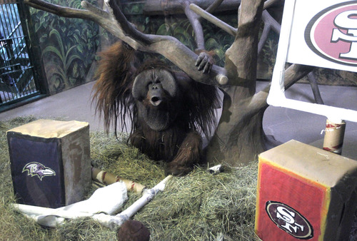 Al Hartmann  |  The Salt Lake Tribune Hogle Zoo's orangutan Eli howls after destroying the Baltimore Ravens logo banner, left, upon entering his enclosure on Thursday. It took him about two seconds to tear it down. He left the San Francisco 49ers' logo alone. That means he picks the Ravens to win Sunday's Super Bowl. The zoo says its apes have picked the winner in each of the first five years of the event.
