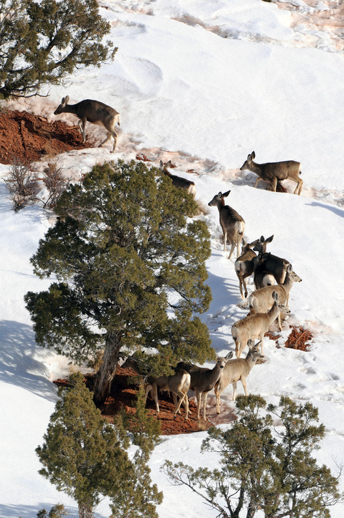 Courtesy file photo, Ron Stewart, Utah Division of Wildlife Resources State wildlife officials are asking the public to avoid deer populations especially during this week's deep freeze so they don't add to their stress.