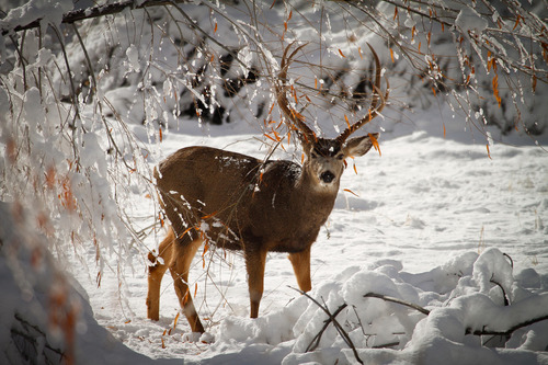 Courtesy photo State wildlife officials are asking the public to avoid deer populations especially during this week's deep freeze so they don't add to their stress.