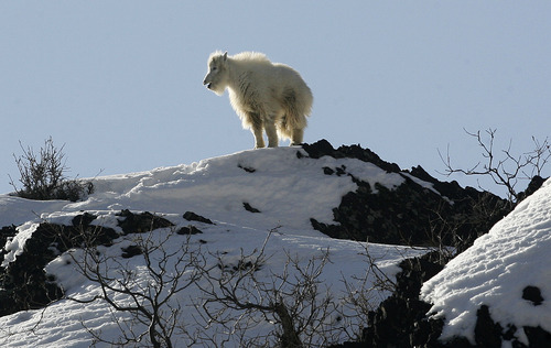 Scott Sommerdorf      The Salt Lake Tribune A mountain goat kid bleats as it tries to locate its parents as they forage for food on a rocky cliff up Big Cottonwood Canyon, Sunday, February 3, 2013.
