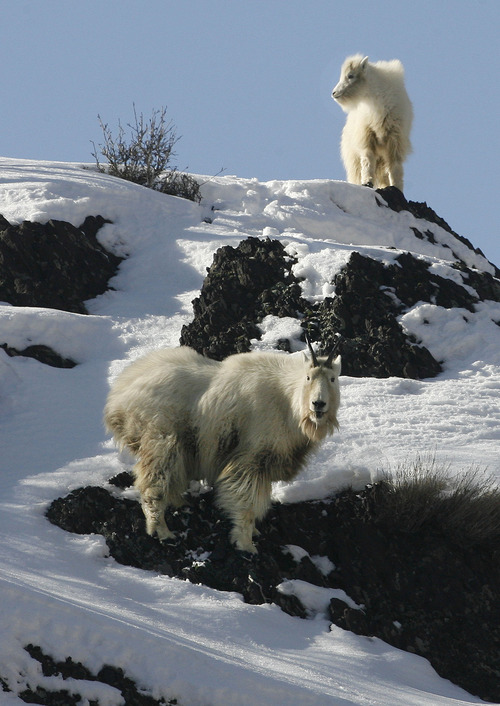 Scott Sommerdorf      The Salt Lake Tribune A mountain goat kid, above, follows an adult as they forage for food on a rocky cliff up Big Cottonwood Canyon, Sunday, February 3, 2013.