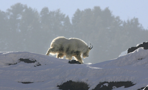 Scott Sommerdorf      The Salt Lake Tribune A mountain goat forages for food on a rocky cliff up Big Cottonwood Canyon, Sunday, February 3, 2013.
