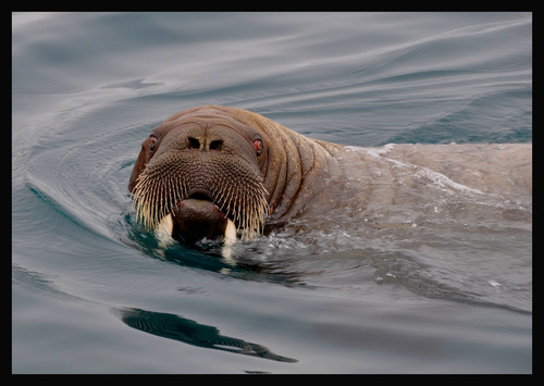 """A walrus is only one of the many creatures Mike Libecki of Cottonwood Heights experienced during his """"Year of the Dragon"""" expeditions in 2012. Courtesy Mike Libecki"""