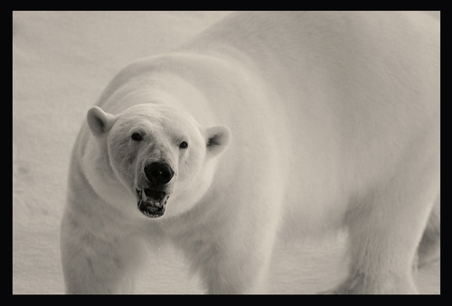 """Polar bears are only one of the many creatures Mike Libecki of Cottonwood Heights experienced during his """"Year of the Dragon"""" expeditions in 2012. Courtesy Mike Libecki"""