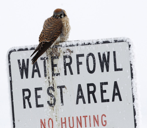 Al Hartmann     The Salt Lake Tribune A puffed-up American kestrel perches on a sign at Farmington Bay Waterfowl Management Area in January. The Division of Wildlife Resources will hold its annual Utah Bald Eagle Day Saturday at six locations around the state where bird watchers can see bald eagles and other species.