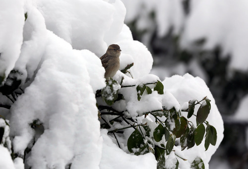 A bird takes refuge on a snow-covered branch in New York's Central Park,  Saturday, Feb. 9, 2013. In New York City, the snow total in Central Park was 11.4 inches by 8 a.m. (AP Photo/Richard Drew)