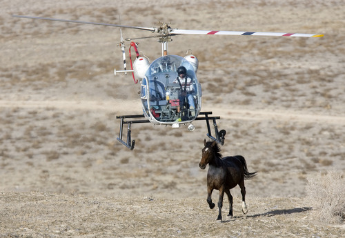 Al Hartmann | Tribune file photo The BLM is once again rounding up Utah wild horses as part of what some call a controversial approach to managing the animals. This week's roundup is taking place near Delta.