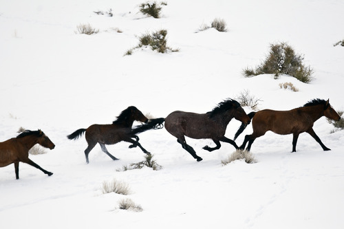 Chris Detrick  |  The Salt Lake Tribune Wild horses from Utah's Swasey herd are rounded up by Cattoor Livestock Roundup Co. 50 miles west of Delta on Thursday, Feb. 14, 2013. Under the Bureau of Land Management operation, helicopter wranglers will gather 262 horses. One hundred will be released back into the Swasey Herd Management Area -- one of Utah's 19 HMAs on federal land. Many of the horses released will be mares treated with a contraceptive.