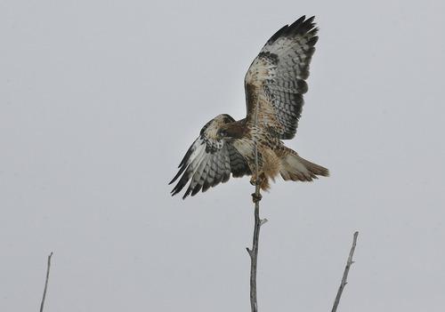 Scott Sommerdorf   |  The Salt Lake Tribune A juvenile hawk -- probably a Ferruginous hawk -- at Farmington Bay, Saturday, February 9, 2013.