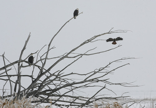 Scott Sommerdorf   |  The Salt Lake Tribune Bald eagles at the newly named Robert N. Hasenyager Great Salt Lake Nature Center at Farmington Bay Saturday, February 9, 2013.