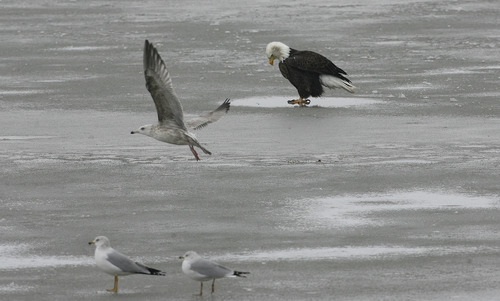 Scott Sommerdorf   |  The Salt Lake Tribune A bald eagle pauses after eating a fish as gulls keep their distance in the foreground at at the newly named Robert N. Hasenyager Great Salt Lake Nature Center at Farmington Bay, Saturday, February 9, 2013.