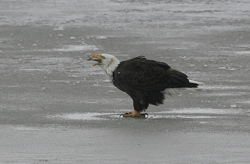 Scott Sommerdorf   |  The Salt Lake Tribune A mature bald eagle gobbles down a fish it caught near an icy stream on Farmington Bay, Saturday, February 9, 2013.