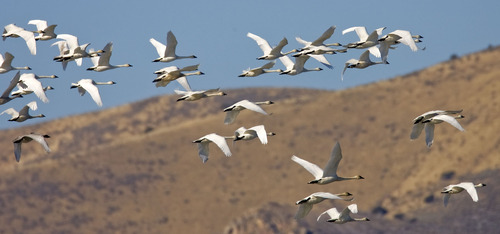 Al Hartmann  |  Tribune file photo Flock of tundra swans fly over Salt Creek Waterfowl Managment Area south of Tremonton. Tundra Swan Day is March 9 at the Bear River Migratory Bird Refuge.