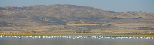 Al Hartmann  |  Tribune file photo Tundra swans stretch in a line for several miles at the Bear River Migratory Bird Refuge west of Brigham City. Tundra Swan Day this year is March 9 at the refuge.