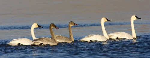 Al Hartmann | Tribune file photo Juvenile tundra swans with their first year plumage swim in between adults at the Bear River Migratory Bird Refuge west of Brigham City. Tundra Swan Day this year is March 9 at the refuge.