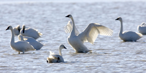 Al Hartmann  |  Tribune file photo Tundra swans gather at Salt Creek Waterfowl Managment Area south of Tremonton. Tundra Swan Day this year is March 9 at the Bear River Migratory Bird Refuge.