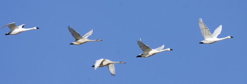 Al Hartmann  |  Tribune file photo A flock of tundra swans flies over Salt Creek Waterfowl Managment Area south of Tremonton. Tundra Swan Day this year is March 9 at the Bear River Migratory Bird Refuge.