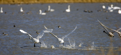 Al Hartmann  |  Tribune file photo A flock of tundra swans takes off from Salt Creek Waterfowl Managment Area south of Tremonton. Tundra Swan Day this year is March 9 at the Bear River Migratory Bird Refuge.