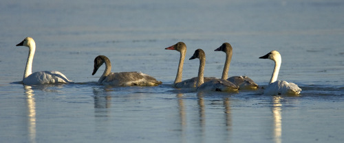Al Hartmann  |  Tribune file photo Juvenile tundra swans with their first-year plumage swim in between adults at the Bear River Migratory Bird Refuge west of Brigham City. Tundra Swan Day this year is March 9 at the refuge.