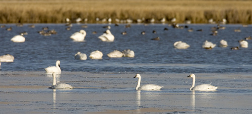 Al Hartmann  |  Tribune file photo Tundra swans gather at the Bear River Migratory Bird Refuge west of Brigham City. Tundra Swan Day this year is March 9 at the refuge.