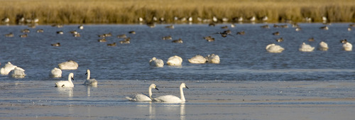 Al Hartmann  |  Tribune file photo Tundra swans gather at the Bear River Migratory Bird Refuge west of Brigham City. Tundra Swan Day this year is March 9 at the Bear River Migratory Bird Refuge.