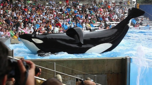 "|  courtesy Sundance Institute  Tilikum, a bull orca whale in captivity at SeaWorld Orlando, the subject of ""Blackfish,"" which played in the U.S. Documentary competition of the 2013 Sundance Film Festival. It will screen at the Sundance London Film and Music Festival."