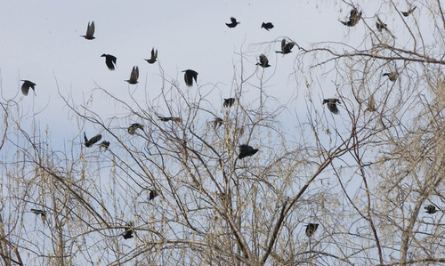 Paul Fraughton     The Salt Lake Tribune Crows take flight last month from a tree west of the Legacy Parkway in Davis County.