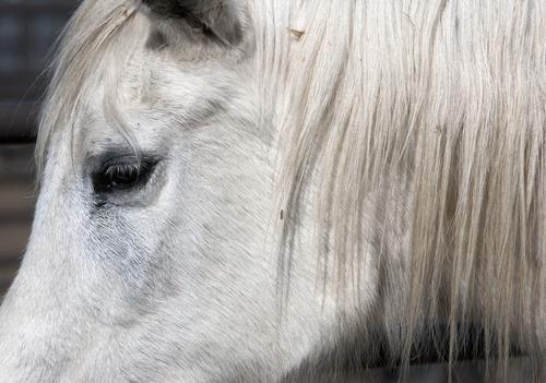 Steve Griffin | The Salt Lake Tribune   Pumpkin enjoys the sun at Noble Horse Sanctuary, in Salt Lake City, Utah Monday March 18, 2013. She is one of the oldest horses at the sanctuary and is part of the original herd.