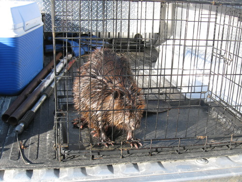 Utah Division of Wildlife Resources conservation officer Mitch Lane caught and transported two beavers caught in the Chevron pipeline diesel fuel spill at Willard Bay State Park to the Wildlife Rehabilitation Center of Northern Utah on Tuesday. Courtesy Mitch Lane/Utah Division of Wildlife Resources