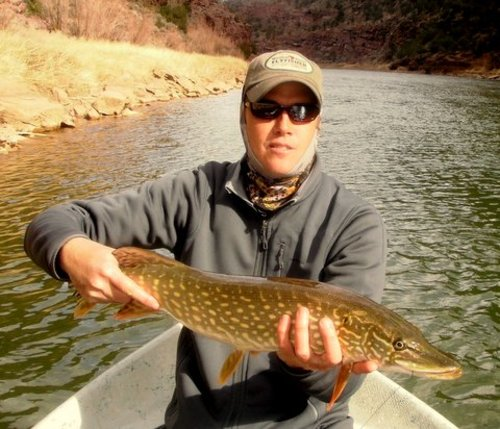 Brad Lovejoy of Western Rivers Flyfisher with a northern pike he landed recently while fishing the Green River below Flaming Gorge Dam. A new regulation requires anglers to kill all northern pike, walleye and smallmouth bass landed on the Green River.  Courtesy photo