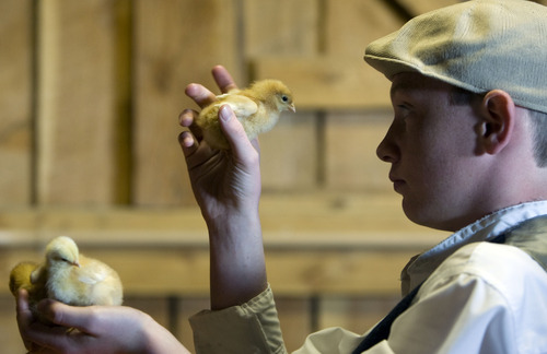 Kim Raff  |  The Salt Lake Tribune Volunteer Keegan Tureson holds baby chicks in the Savage Livery Stable during Baby Animal Season at This is the Place Heritage Park in Salt Lake City on April 1, 2013. The event will continue until May 24.