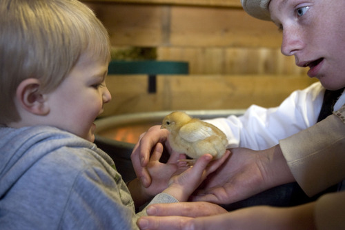 Kim Raff  |  The Salt Lake Tribune (left) Hudson Peck holds a baby chick with the help of volunteer (right) Keegan Tureson in the Savage Livery Stable during Baby Animal Season at This is the Place Heritage Park in Salt Lake City on April 1, 2013. The event will continue until May 24.