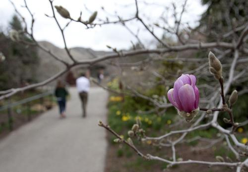 Steve Griffin | The Salt Lake Tribune Magnolia blossom at Red Butte Garden in Salt Lake City.