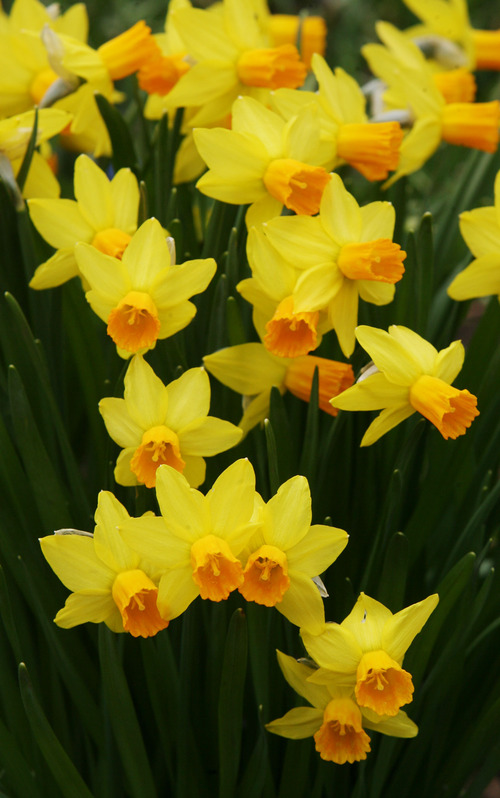 Steve Griffin | The Salt Lake Tribune   Daffodils bloom at Red Butte Garden in Salt Lake City, Utah Monday April 1, 2013.