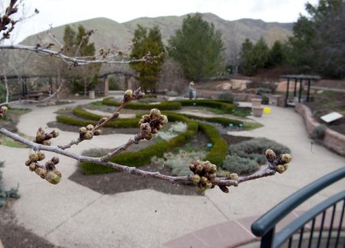 Steve Griffin | The Salt Lake Tribune   Trees begin to blossom at Red Butte Garden in Salt Lake City, Utah Monday April 1, 2013.