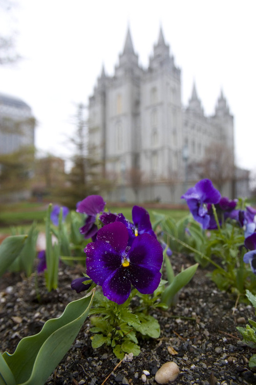 Paul Fraughton      The Salt Lake Tribune Spring flowers and rainy weather on Temple Square, a not uncommon combination for LDS General Conference in the spring.