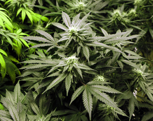 FILE - Marijuana plants flourishing under the lights at a grow house.   (AP Photo/Ed Andrieski, File)