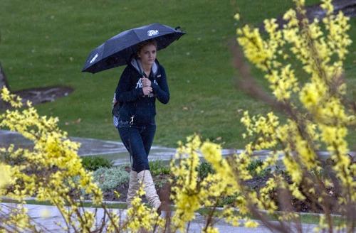 Kim Raff  |  The Salt Lake Tribune Jennifer Johnson walks past blooming forsythia on the University of Utah campus in Salt Lake City on Monday April 8, 2013.