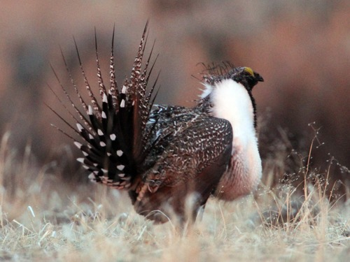 Rick Egan  | Tribune file photo   A male greater sage-grouse does his strut display near Green River Wyo., in March 2012.