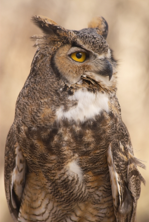 Chitters, a great horned owl who has been an educational raptor with the Ogden Nature Center for 33 years, passed away last week at age 37. Officials believe more than 200,000 people, mostly children, saw him through the educational programs over the years. Courtesy Ogden Nature Center