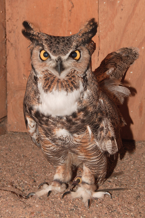 Chitters, a great horned owl who has been an educational raptor with the Ogden Nature Center for 33 years, passed away last week at age 37. Officials believe more than 200,000 people, mostly children, saw him through the educational programs through the years. Courtesy Ogden Nature Center