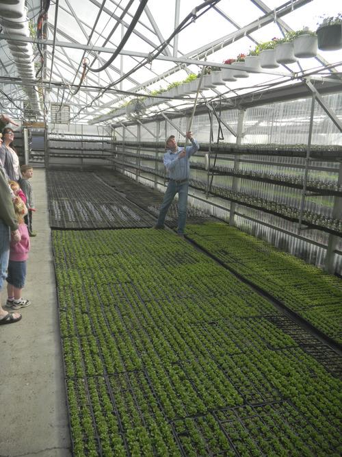 Tom Wharton   The Salt Lake Tribune Wayne Huber pulls down a hanging plant at Joe's Greenhouse in Layton.