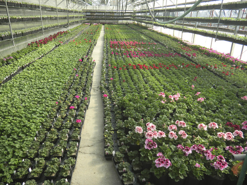 Tom Wharton     The Salt Lake Tribune Geraniums at Joe's Greenhouse in Layton are ready for buyers eager for spring gardening.