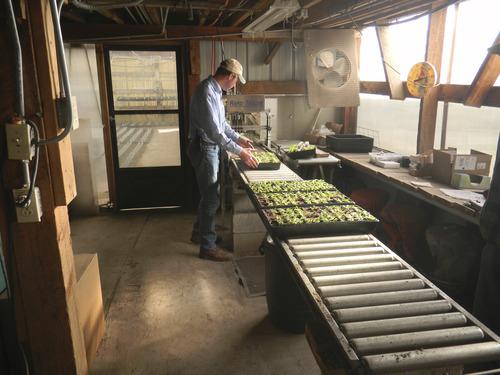 Tom Wharton   The Salt Lake Tribune Wayne Huber of Joe's Greenhouse in Layton moves plant flat into greenhouse where it will grow.